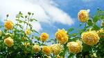 Обои Желтые розы на фоне облачного неба