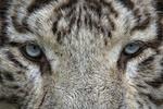 Обои Взгляд белого тигра, by Wendy Corniquet