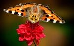 Обои Мордочка лисенка, выглядывающего из цветка, с крыльями бабочки на заднем плане, размытый фон, by Krefe