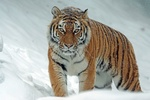Обои Амурский тигр стоит в снегу и смотрит в камеру, by Marcel Langthim