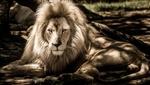 Обои Лев отдыхает на природе, by IanZA