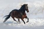 Обои Вороной жеребец скачет галопом по снегу. Фотограф Вячеслав Немировский