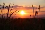 Обои Колосья в поле на закате, by Konevi