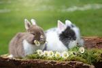 Обои Два кролика с ромашками, by Rebekka D