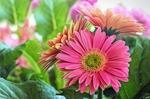 Обои Розовые герберы с листьями