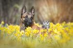 Обои Сова и овчарка в нарциссах, by Tanja Brandt