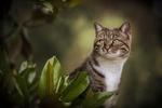 Обои Кошка выглядывает из-за листвы, фотограф Sabrina Boem