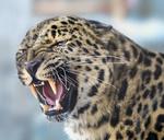 Обои Разъяренный леопард, фотограф Олег Богданов