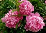 Обои Розовые пионы с листьями, by Alexas_Fotos