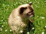 Обои Британская короткошерстная кошка сидит в траве на фоне ромашек, by Alexas_Fotos