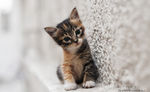 Обои Серый котенок у стены