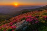 Обои Розовые рододендроны в Карпатах на закате. Фотограф Misha Reme