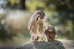 Обои Две совы на размытом фоне с боке