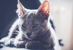 Обои Серый кот на размытом фоне