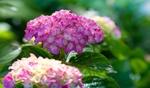 Обои Соцветия розовой гортензии на размытом фоне