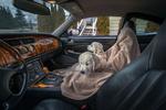 Обои Щенки породы золотой ретривер разместились в машине, by Dave Carnahan