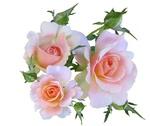 Обои Розовые розы на светлом фоне, by Beverly Buckley