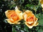 Обои Желтые розы на размытом фоне листьев, by Beverly Buckley
