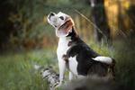 Обои Собака породы гончая в траве. Фотограф Mona Hоhler
