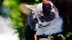 Обои Серый с белым котенок манчкина на размытом фоне