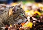 Обои Полосатая кошка в осенней листве