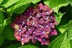 Обои Соцветие бордовой гортензии в листве