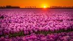 Обои Поле розовых тюльпанов на закате дня. Фотограф Leo Hoegee