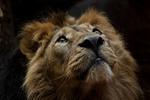 Обои Лев смотрит вверх, by Der_Knipser