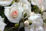 Обои Белые розы с бутонами в каплях воды