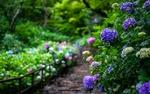 Обои Цветущие гортензии в летнем саду, Japan / Япония