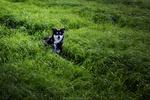 Обои Пес породы хаски на зеленом поле, фотограф Stefan Kierek