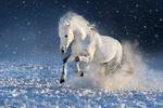 Обои Белый жеребец несется галопом по снегу, by callipso_art