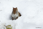 Обои Белочка в снегу, фотограф Andre Villeneuve