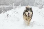 Обои Аляскинский маламут бежит по снегу