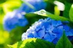 Обои Голубая гортензия с листочками. Фотограф kouji onishi