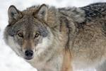 Обои Волк смотрит в камеру, by Marcel Langthim