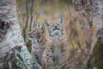 Обои Детеныши рыси на природе, фотограф Cecilie Sоnsteby