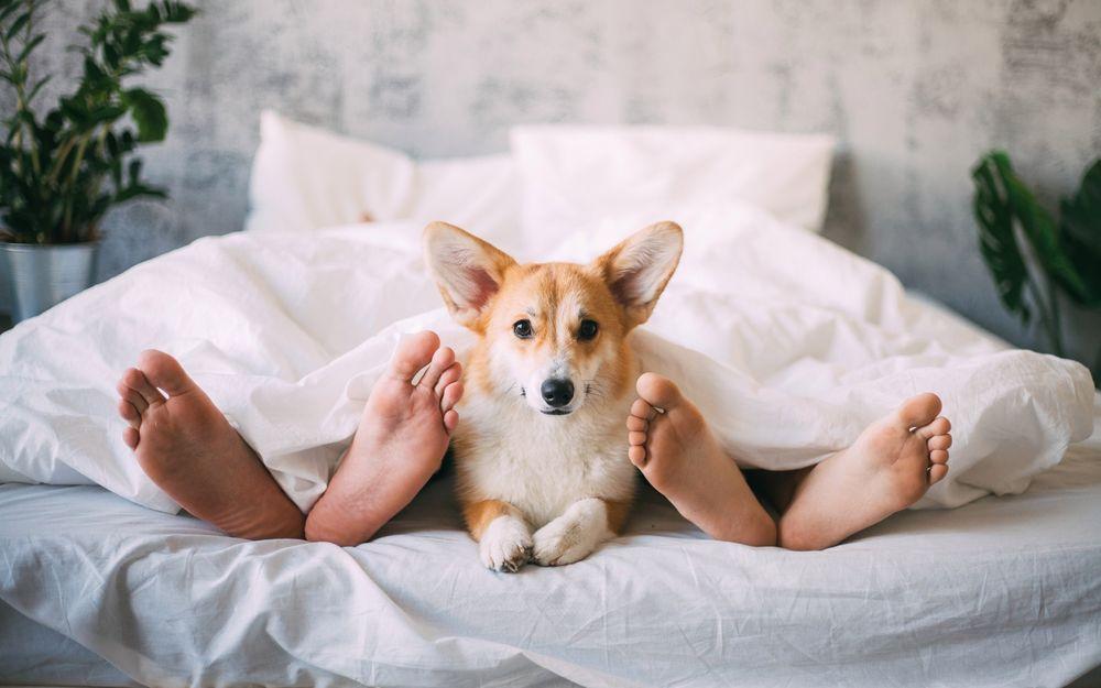 Обои для рабочего стола Вельш-корги лежит у ног хозяев в постели