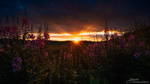 Обои Сиреневые люпины на фоне заката, фотограф Juuso Oikarinen