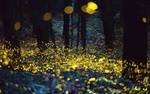 Обои Много светлячков в вечернем лесу
