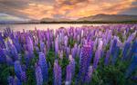 Обои Озеро Tekapo, New Zealand / Текапо, Новая Зеландия летом, на переднем плане цветы люпины, фотограф Amarate Tansawet