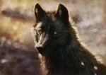 Обои Черный волк на размытом фоне, by ArtofNyra