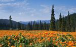 Обои Поляна с жарками на фоне гор и елового леса / Ергаки, Алтай, фотограф Лещенок Александр