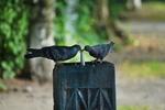 Обои Голуби пьют воду из фонтанчика, фотограф Denis