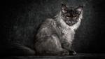 Обои Кот породы мейн-кун сидит с серьезным взглядом