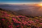 Обои Цветущий рододендрон в лучах солнца, фотограф Ser Grey