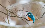 Обои Яркий зимородок на голых зимних ветках, фотограф Александр Абросимов