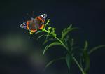 Обои Бабочка на стебельке. Фотограф Логачев Илья