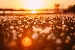 Обои Одуванчики на поляне в лучах солнца, фотограф Andrius Aleksandraviсius