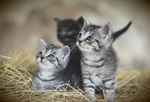 Обои Трое котят в сене